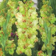 Gladiole Kiev (7 bulbi), gladiole cu flori mari, gofrate, intr-o culoare rara de verde deschis-crem si atingeri de roz, bulbi de flori