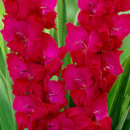 Gladiole Plum Tart (7 bulbi), gladiole cu flori de culoare intensa magenta-purpuriu, bulbi de flori