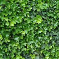 Hedera hibernica (ghiveci 2 L), iedera decorativa rezistenta la ger, frunze verzi