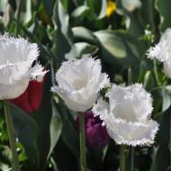 Honeymoon (8 bulbi), lalele albe franjurate, bulbi de flori