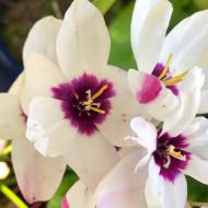 Ixia Spotlight (10 bulbi), bulbi de flori stelate de vara, intr-o combinatie superba de alb, roz si visiniu, bulbi de flori