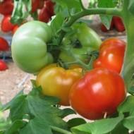 Jalari F1 (H11) - 500 sem - Seminte de rosii cu crestere nedeterminata recomandate pentru ciclu scurt-mediu cu fructe rotund turtite si o greutate medie de 220-260 gr/fruct de la Esasem