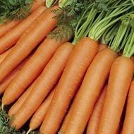 Jerada F1 - 25000 sem - Seminte de morcovi (calibru seminte 1.8-2.0) tip Nantes extratimpuriu 70-80 de zile si se preteaza la semanat pentru perioada februarie-iulie cu forma cilindrica si culoare portocaliu inchis de la Rijk Zwaan