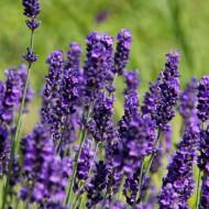 Lavandula Angustifolia Hidcote Compact (ghiveci 1 L), rasad planta aromatica lavanda, flori violet inchis si frunze argintii