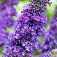 Liliac de vara Empire Blue, arbust ornamental de talie mare, cu flori grupate in panicule mari, intr-o combinatie superba de petale albastru intens si centrul portocaliu, Yurta