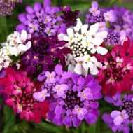 Lilicele (1 g), seminte de flori anuale parfumate Iberis umbellata, colorate in alb, roz si violet, Opal