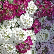 Lobularia Mix - Seminte Flori Lobularia Maritima de la Florian
