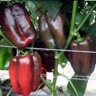 Lothar F1 - 500 sem - Seminte de ardei gras dulce si aspectuos de culoare verde la inceput ajungand la maturitate la rosu inchis cu o greutate de 200-230 grame de la Cora Seeds