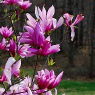 Magnolie Betty (ghiveci 2 L), flori foarte mari, intens parfumate, roz inchis la exterior si alb-roz la interior