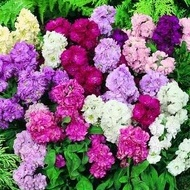 Micsunele - Seminte Flori Micsunele de la Florian