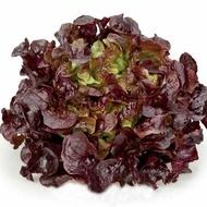 Murai - 1000 sem - Seminte drajate de salata creata  tip oak leaf (frunza de stejar) de culoare rosu inchis si un gust placut  ce nu emite tija florala de la Rijk Zwaan