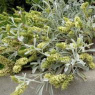 Mursalski Ceai (ghiveci 1 l), rasad de Mursalski ceai (Sideritis Scardica ), planta medicinala ceai de munte din Rodopi