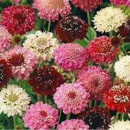 Muscata Dracului Sipica (scabiosa atropurpurea) 100 Seminte Flori de la Florian