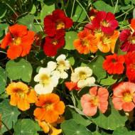 Nasturel - Condurul Doamnei catarator mix (2 g), seminte de Tropaeolum majus - Papucul Doamnei, plante anuale urcatoare, de diferite culori, Opal
