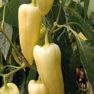 Nemezis F1 - 500 sem - Seminte de ardei cu fructe de culoare alb-galbuie foarte atractiva ce leaga bine chiar si in conditii de temperatura ridicata iar marimea fructelor face din acest hibrid o varietate foarte profitabila de la Enza Zaden