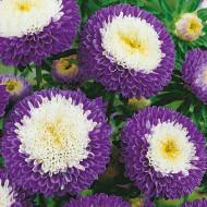 Ochiul boului pompon albastru cu alb (0,4g), seminte de ochiul boului cu flori mari, deosebit de frumoase, intr-o combinatie de albastru si alb, Agrosem