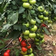 Ozkan F1 (500 seminte) tomate extratimpurii nedeterminate, Yuksel