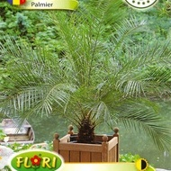 Palmier Phoenix Canariensis Seminte de Palmier de la Florian