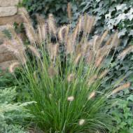 Pennisetum Compressum (ghiveci 1,5 l), iarba chinezeasca ornamentala