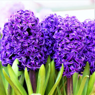 Peter Stuyvesant (5 bulbi), zambile mov închis parfumate, bulbi de flori