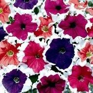 Petunia HIBRID Picotee - Seminte Flori Petunia Picotee Mix de la Florian