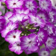 Phlox paniculata Purple Eye Flame (ghiveci 1 l), plante perene cu flori mari magenta-purpuriu intens si alb