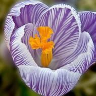 Pickwick (7 bulbi), Brândușe (Crocus) cu flori mari de culoare mov cu dungi albe, bulbi de flori