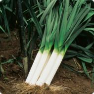 Praz Carentan(1 kg), seminte de praz soi semitardiv, Agrosem