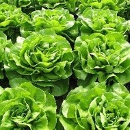 Pronto - 5 grame - Seminte de salata cu frunze de un colorit atractiv verde stralucitor bine indesata recomandata pentru culturile de primavara tarzie vara si toamna de la Enza Zaden