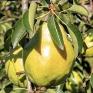 Puiet de par Williams (1 puiet), pom fructifer par de vara, fructe coaja subtire, parfumate, Yurta