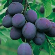 Puiet de prun President, pom fructifer prun soi productiv cu fructe mari si foarte mari, Yurta