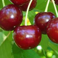 Puiet de visin Crisana, pom fructifer visin, soi autohton fructe zemoase, gustoase, Yurta