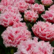 Queensland (5 bulbi), lalele cu petale puternic franjurate, bulbi de flori