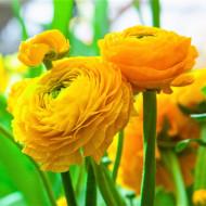 Ranunculus Yellow (10 bulbi), flori culoare galben, inflorescenta bogata, bulbi de flori