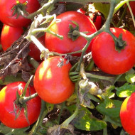 Rosii Heinz 1350 (1 kg), seminte de rosii crestere determinata pentru camp, Agrosem