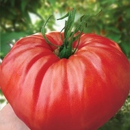 Rosu de Gradina (0,5 gr) seminte rosii, gust de odinioara, soi gigant nedeterminat, Florian