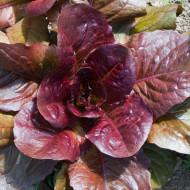 Salata Red Romaine Cos (1600 seminte), salata romana frunze roscate la varfuri, fragede, gustoase, Agrosem