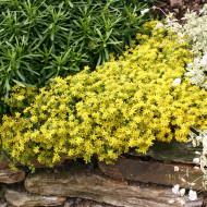 Sedum album acre Aurea (ghiveci 1 L), planta suculenta vesnic verde, frunze galben-verzui, flori stelate galbene, iarba grasa