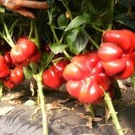 Seminte Ardei Gogosar Bihar F1 (5000 seminte), productivitate mare, ZKI