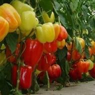Seminte ardei gras Piedone F1 (100 seminte), galben coacere in rosu, Seminis
