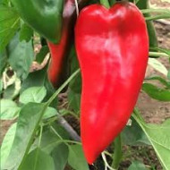 Seminte ardei kapia cap-1801* (100 seminte), timpuriu, Capsico