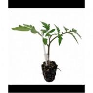 Seminte drajate portaltoi Maxifort (500 seminte), portaltoi tomate, De Ruiter Seeds