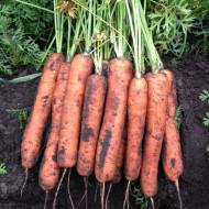 Seminte morcovi Talianna F1 (100.000 seminte), cal.1,4-1,6 mm, tip Nantes, agroTIP