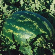 Seminte pepene verde Eletta F1 (250 seminte), foarte dulce, De Ruiter Seeds