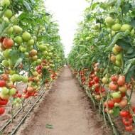 Seminte rosii Corvinus F1 (500 seminte), extratimpurii, De Ruiter Seeds