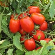 Seminte rosii ISI 22693 F1 (1000 seminte), semitimpurii, Isi Sementi