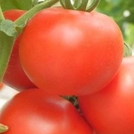 Seminte rosii Kiveli F1 (500 seminte), nedeterminate, Seminis