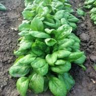 Seminte spanac Quartett F1 (1 kg), tip semi savoy, agroTIP