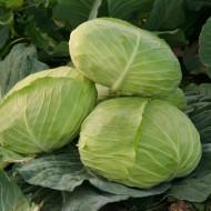 Seminte varza Caruso F1 (1000 seminte), forma aplatizata, agroTIP