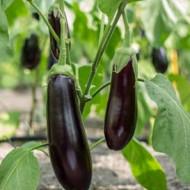 Seminte vinete Violetta lunga 2 (Early Long Purple) (50 gr), Top Harvest